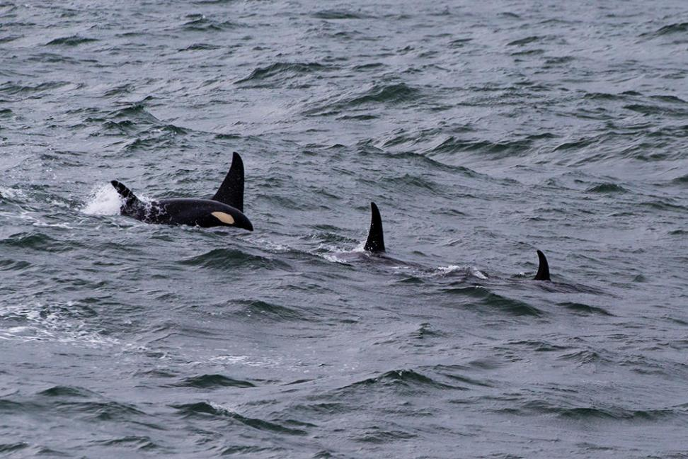 We where even lucky enough to see a whole pod of orca