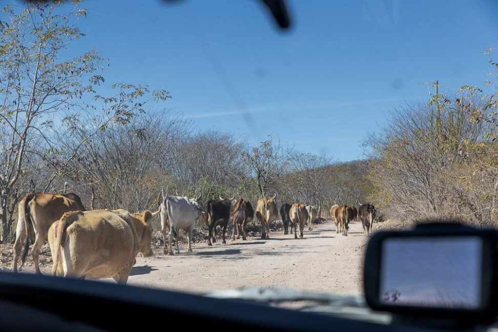 Traffic on the road from El Fuerte to Álamos .