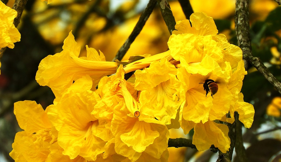 The guayacanes depend on the bees for their pollination