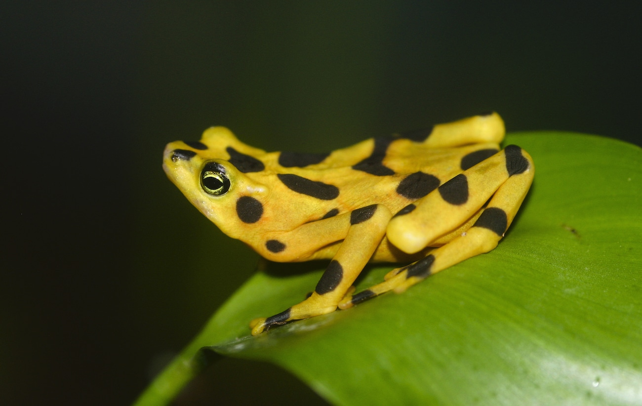 Famous Panamanian Golden Frog research can be seen in El Nispero Zoo and Smithsonian Zoo in Washington D.C.