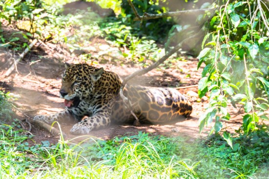 The jaguar was one of our favorite animals at the zoo as well.