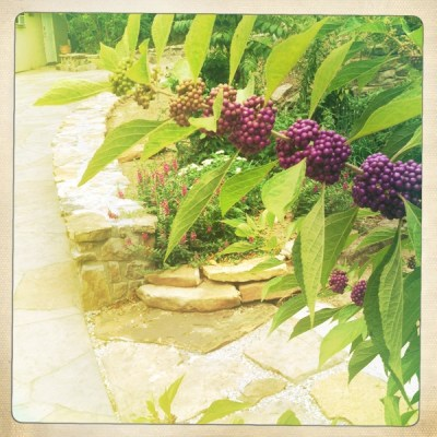 Beautyberry- purple berries on green stem in herb garden