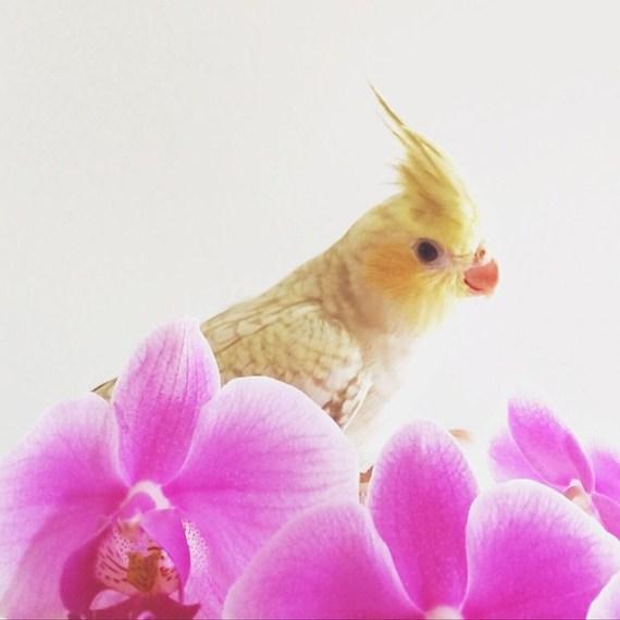 Buttercup Orchids