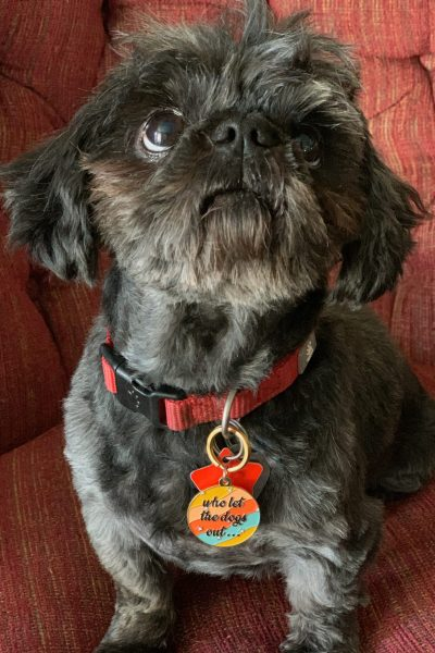 Adorable black Shih Tze dog wearing a funny dog tag.