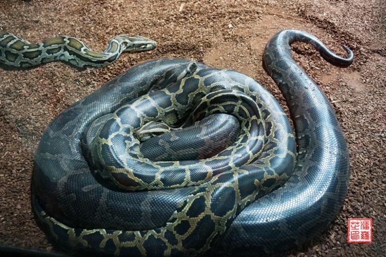 Dunkler Tiger-Python