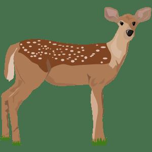 Venado cola blanca - Ilustración en vectores