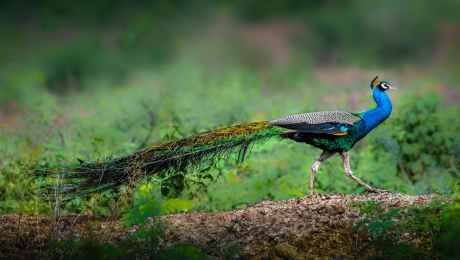 graceful peacock on rough terrain with grass