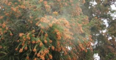 スギ花粉の飛散