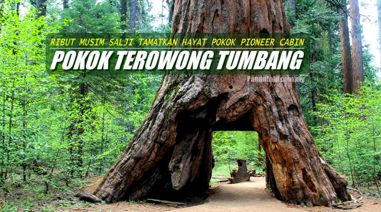 Selepas 1,000 Tahun, 'Pokok Terowong' di AS Tumbang Menyembah Bumi Akibat Ribut