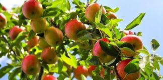 cara mendeteksi kematangan apple