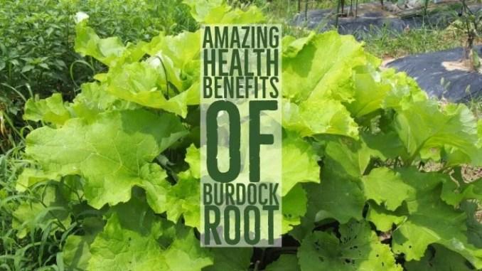 amazing health benefits of burdock root