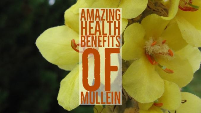 Amazing Health Benefits Mullein