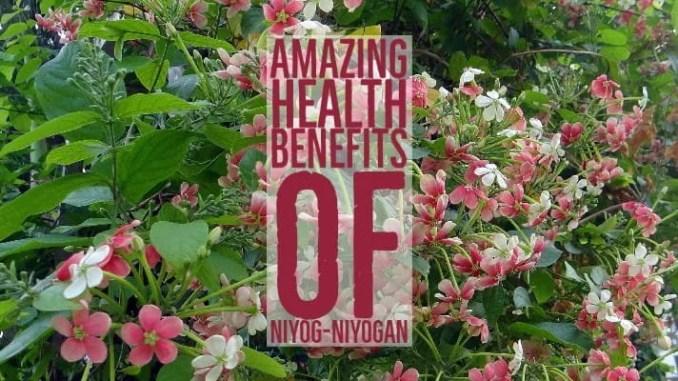 Amazing Health Benefits Niyog-niyogan