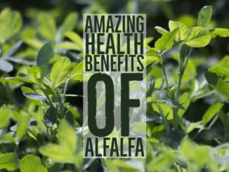 Amazing Health Benefits Alfalfa