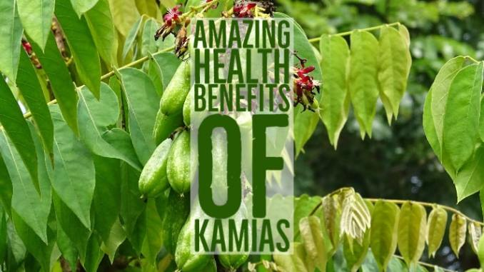 Amazing Health Benefits Kamias
