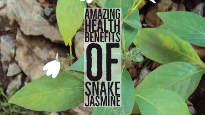 Amazing Health Benefits Snake Jasmine
