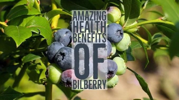 Amazing Health Benefits Bilberry