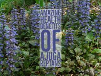 Amazing Health Benefits Ajuga Reptans
