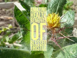 Amazing Health Benefits Blessed Thistle