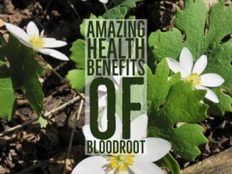 Amazing Health Benefits Bloodroot