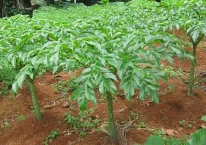 tanaman porang