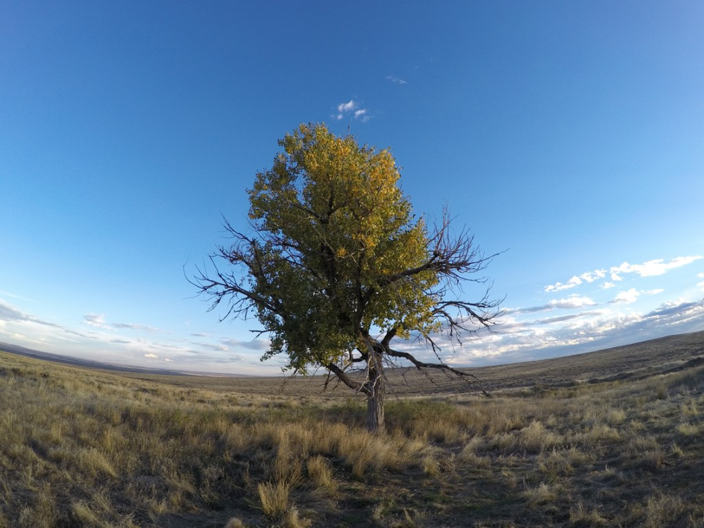 Wyoming cottonwood tree