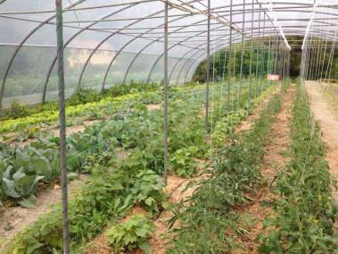 tomates-haricots-asclepiades