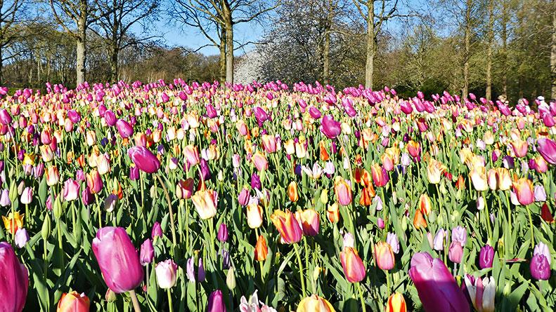 Настоящие голландские тюльпаны. Часть 2. Парк Кекенхоф