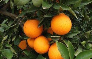Naranjas (01)