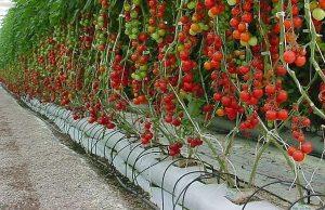 tomates hidroponicos