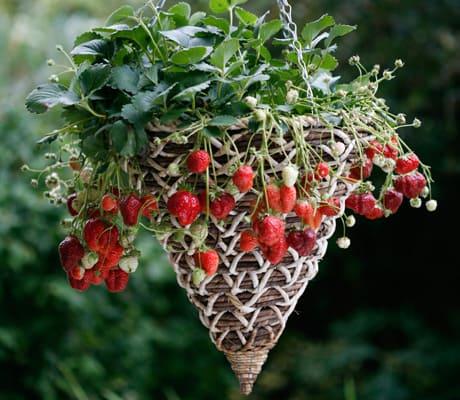 Fresas en maceta