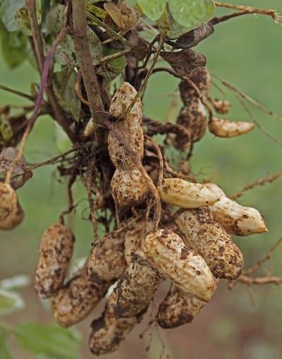 Raíces de cacahuate