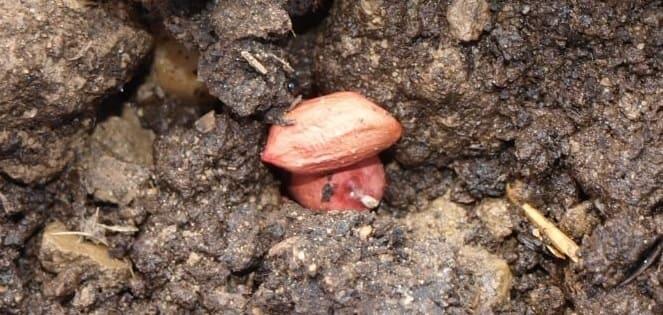 Semillas de Cacahuate