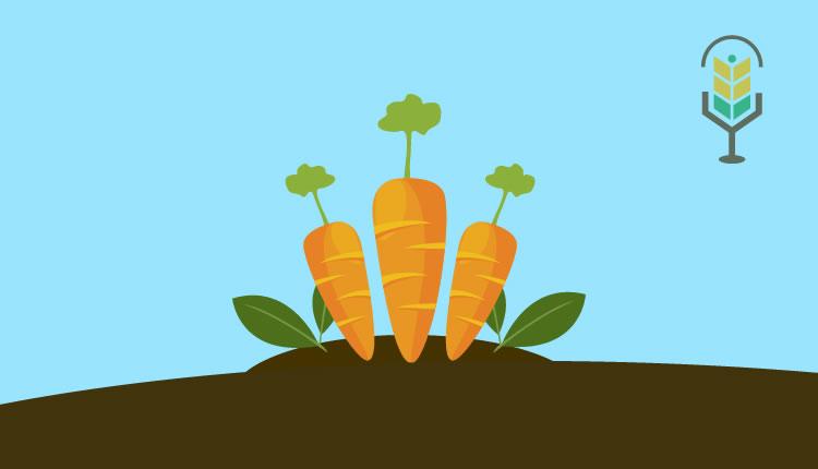 Cómo cultivar zanahoria