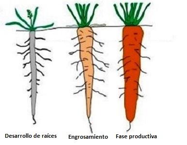 Desarrollo de zanahoria