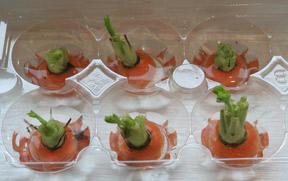 Zanahorias germinando