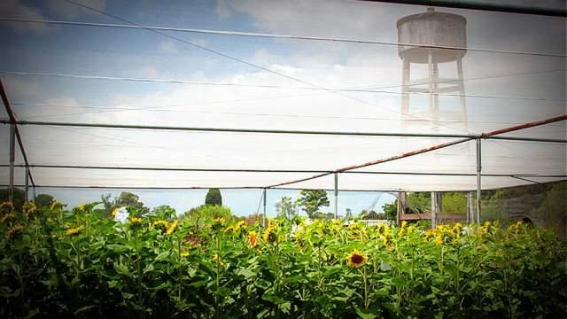 Científicos argentinos confirman capacidad del girasol por su resistencia a sequías