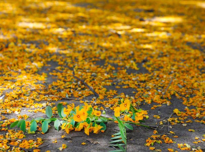 Llueven flores amarillas en la Ciudad, florecieron las tipas