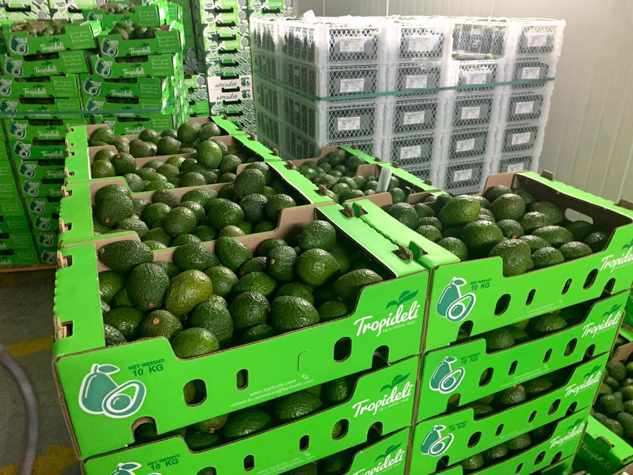 Millones de kilos de aguacate Hass cosechados en el Tolima llegarán a mercados mundiales. 1