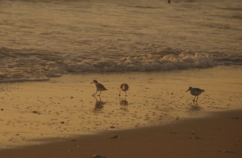 sandpipers(small)