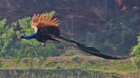孔雀的長尾巴會影響飛行嗎? - PanSci 泛科學