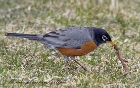 robin-eating-worm