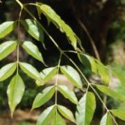 Figura 3 Foglie dell'albero del rosario
