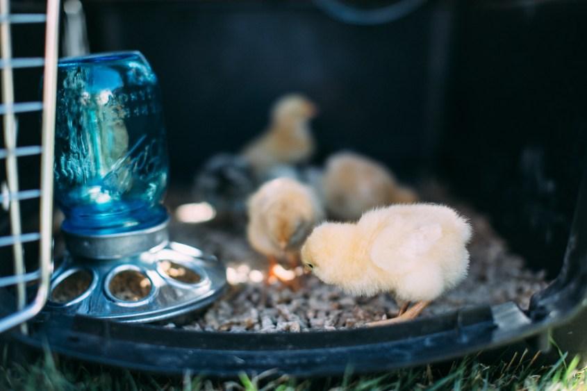 0328 chicks-002
