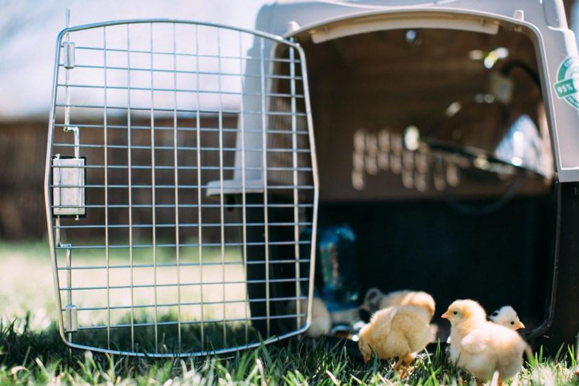 0328 chicks-006