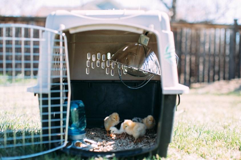 0328 chicks-008