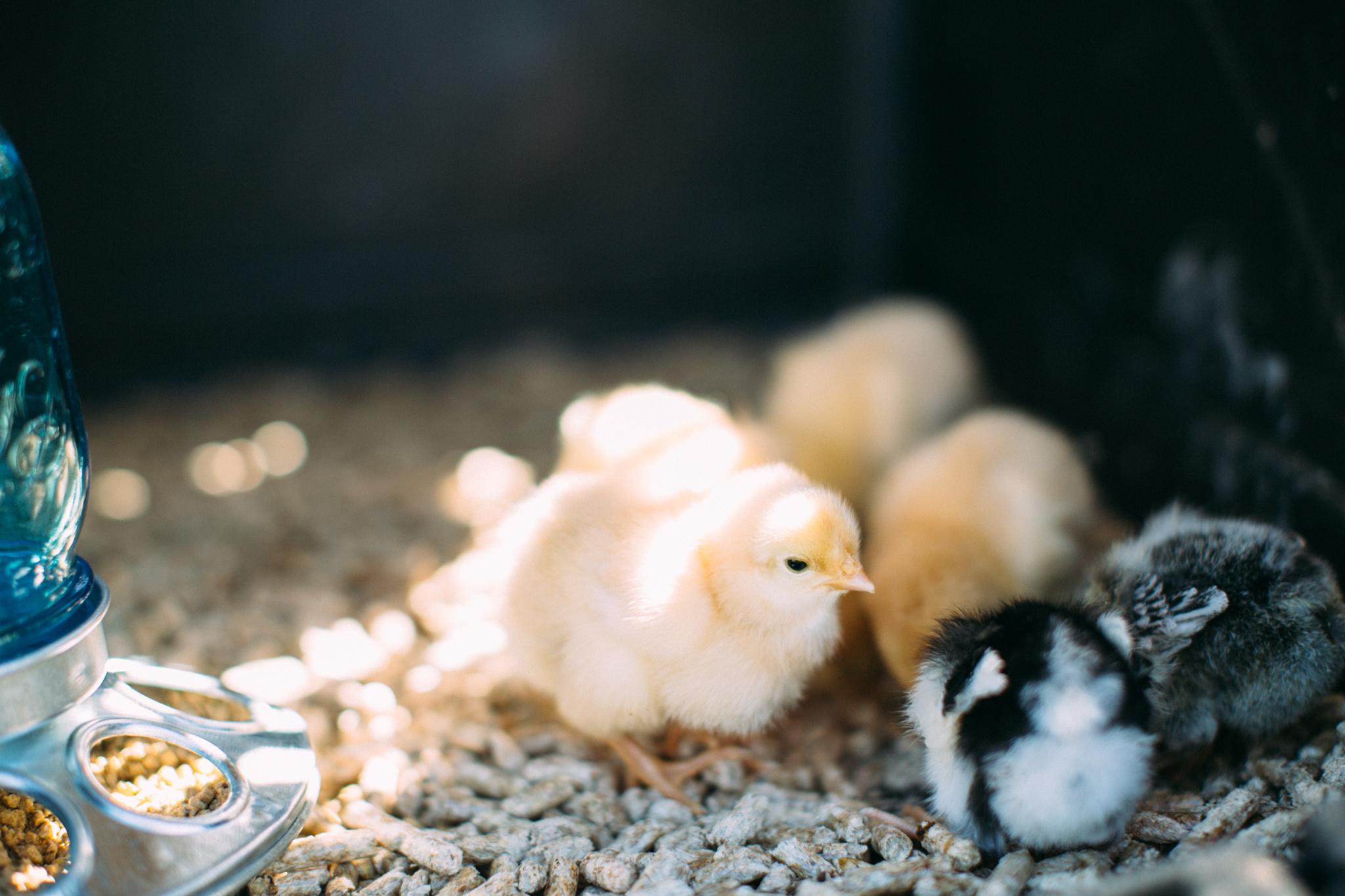 0328 chicks-016