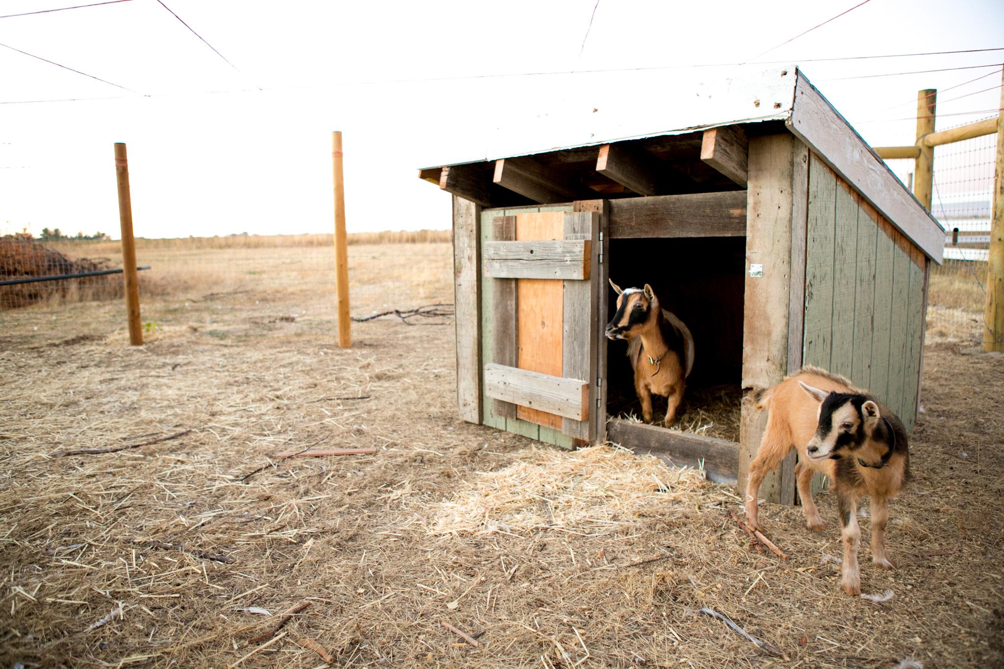0926 goats-006