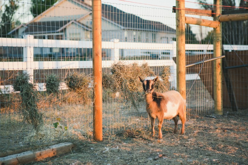 0926 goats-024