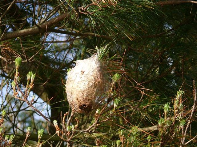 nidos-de-oruga-procesionaria-en-san-xiao-pantin-f-goiriz-28-03-2008-001-1.jpg
